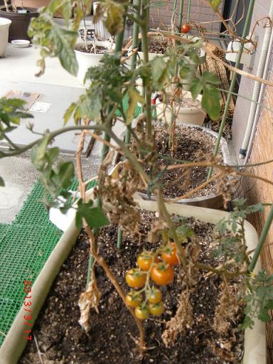 トマト、越冬したよ