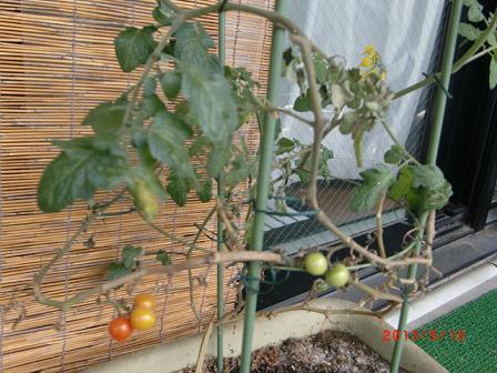 去年植えた、ぼくのミニトマト