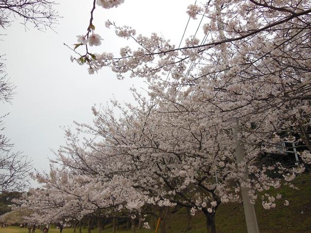 走水水源地の桜