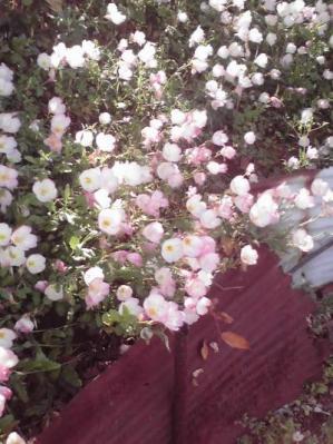 路地に咲く2