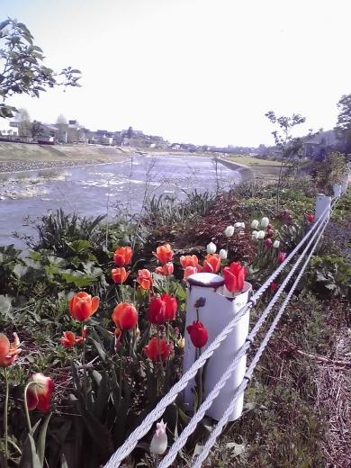 河川敷のチューリップ