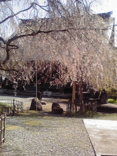 聞名寺の枝垂桜