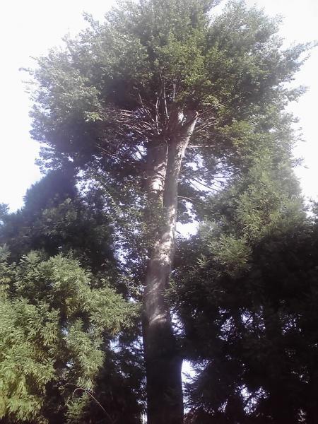 本学寺の巨木