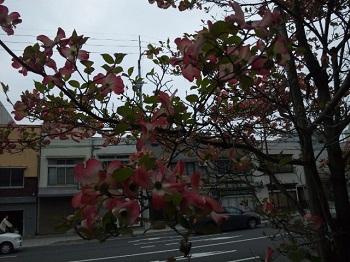 花水木ピンク