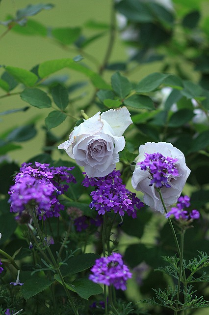 IMG_4560花菜ガーデン