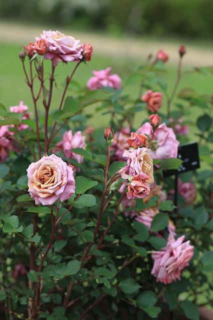 IMG_4564花菜ガーデン