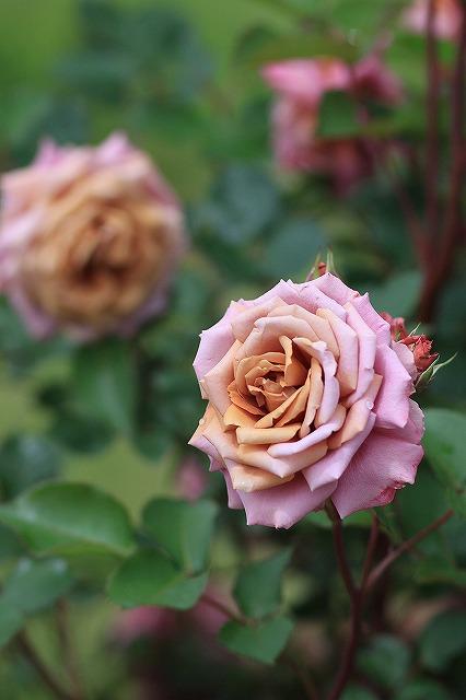 IMG_4566花菜ガーデン