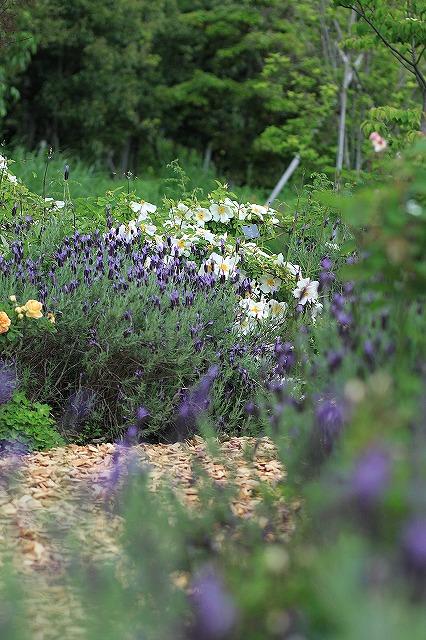 IMG_4574花菜ガーデン