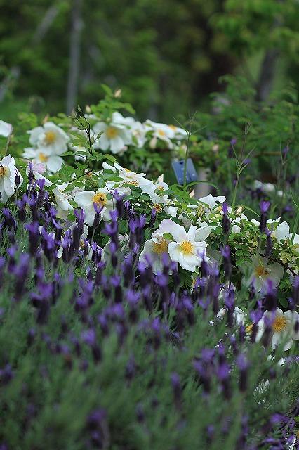 IMG_4579花菜ガーデン