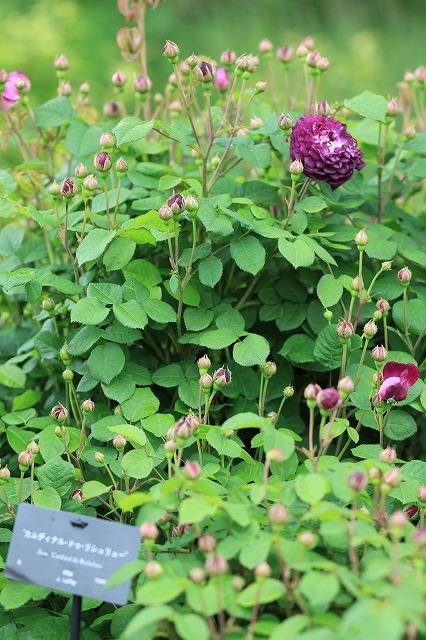 IMG_4585花菜ガーデン