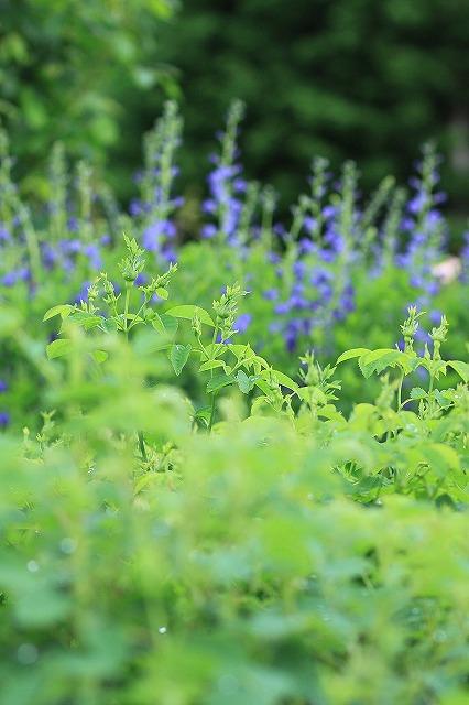 IMG_4589花菜ガーデン