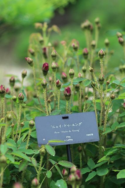 IMG_4593花菜ガーデン