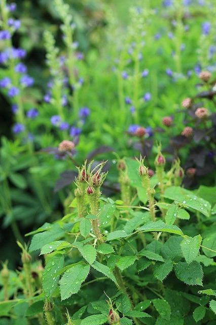 IMG_4596花菜ガーデン