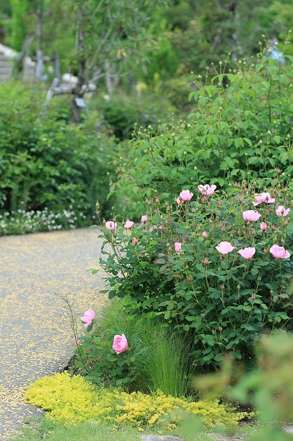 IMG_4602花菜ガーデン