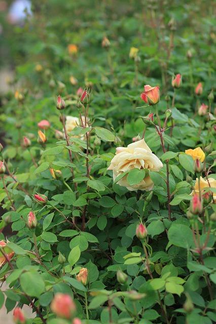 IMG_4603花菜ガーデン