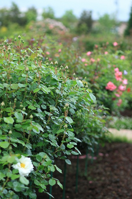 IMG_4606花菜ガーデン