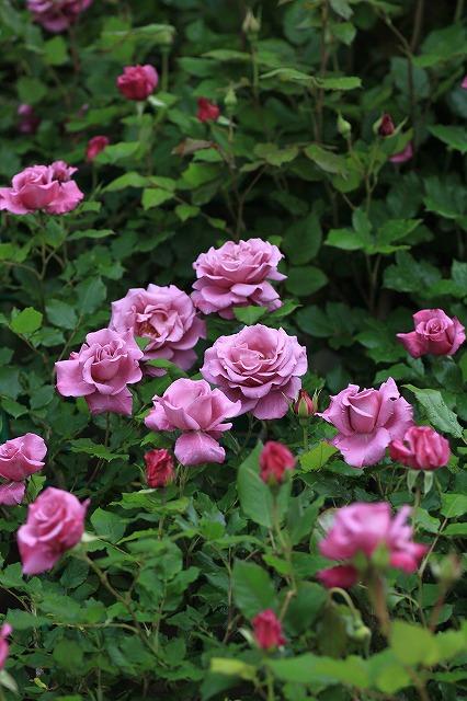 IMG_4609花菜ガーデン
