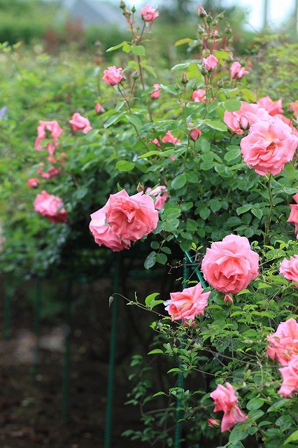 IMG_4613花菜ガーデン