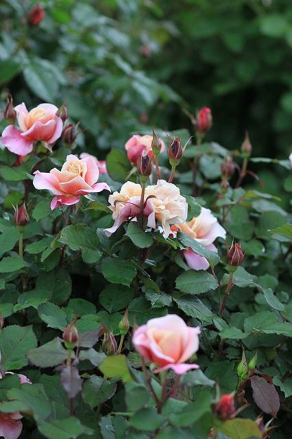 IMG_4619花菜ガーデン
