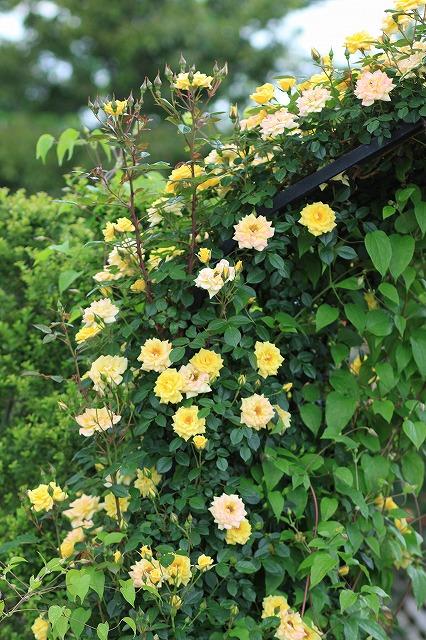 IMG_4620花菜ガーデン