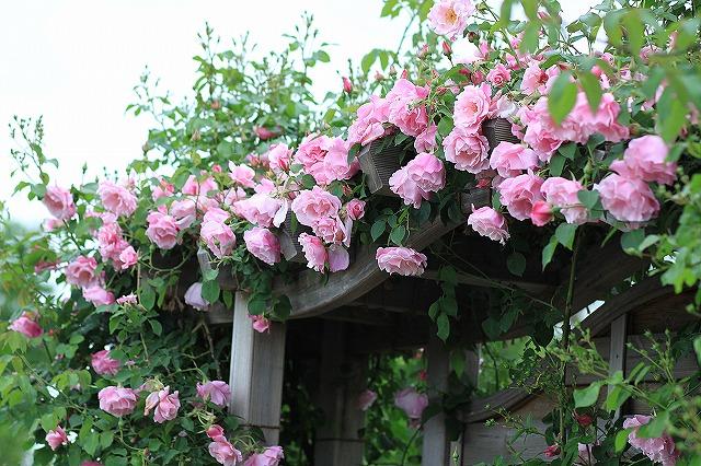 IMG_4625花菜ガーデン