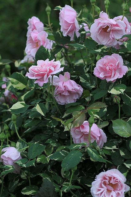 IMG_4629花菜ガーデン