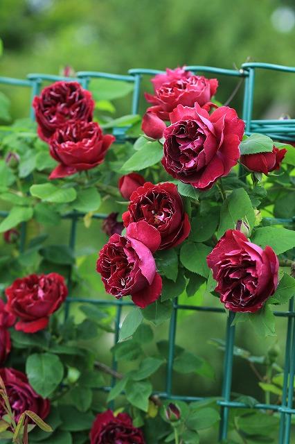IMG_4634花菜ガーデン