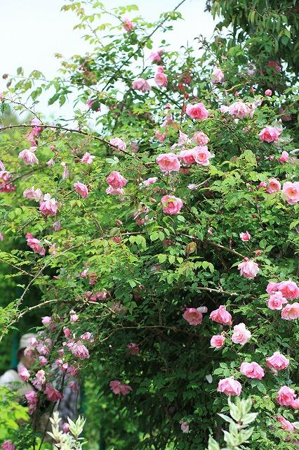 IMG_4640花菜ガーデン