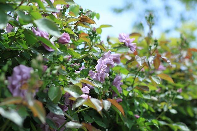 IMG_4641花菜ガーデン