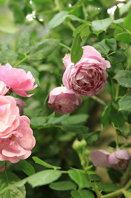 IMG_4732国際バラとガーデニングショウ