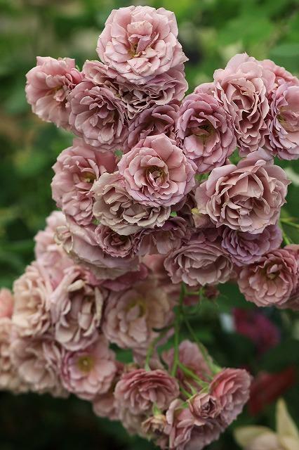 IMG_4769国際バラとガーデニングショウ