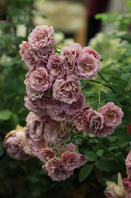 IMG_4772国際バラとガーデニングショウ