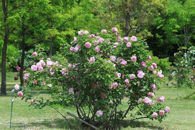 IMG_5545河津バガテル公園