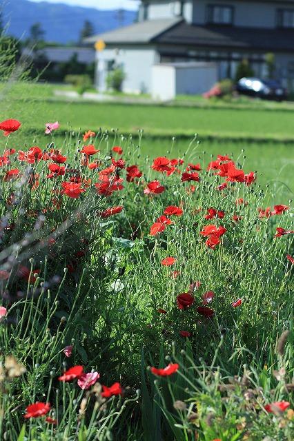 IMG_8418実家の庭