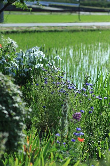 IMG_8427実家の庭