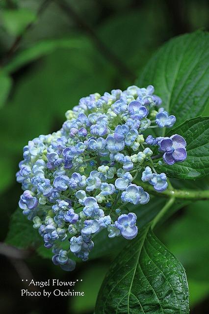 IMG_9160紫陽花