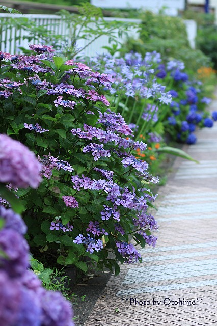 IMG_9451紫陽花