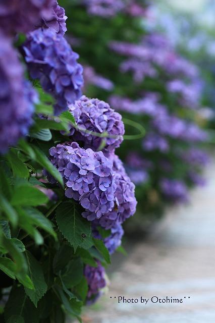 IMG_9454紫陽花
