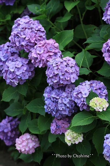 IMG_9457紫陽花