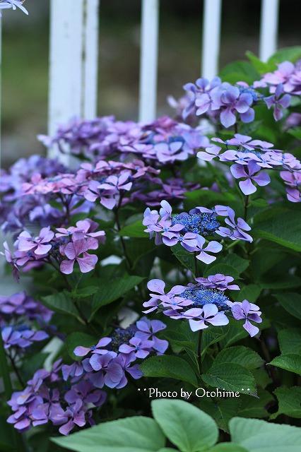 IMG_9461紫陽花