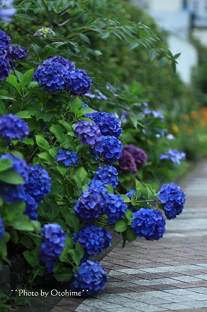 IMG_9473紫陽花