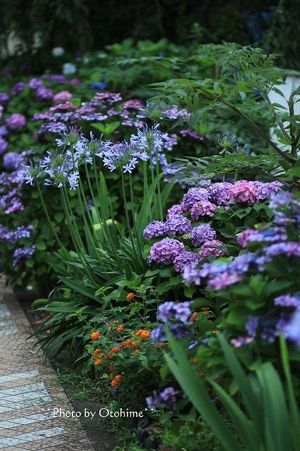 IMG_9474紫陽花