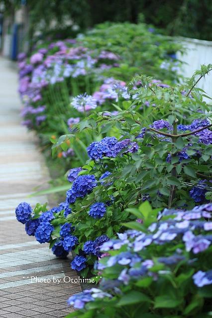 IMG_9483紫陽花