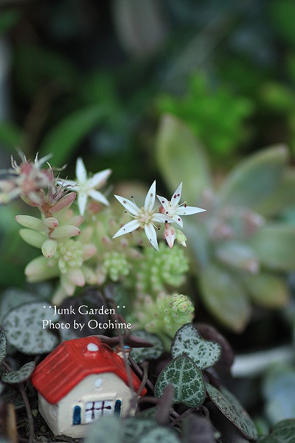 IMG_9816多肉の花