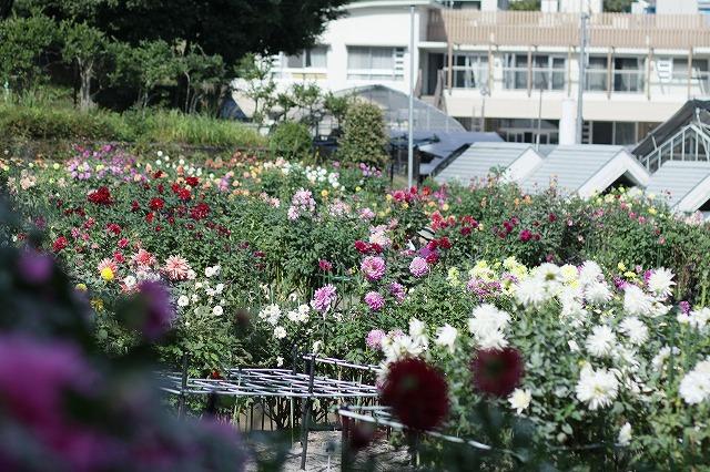 IMG_2476町田ダリア園