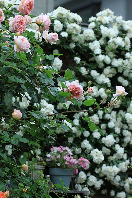 201205202127575c4春の乙姫ガーデン