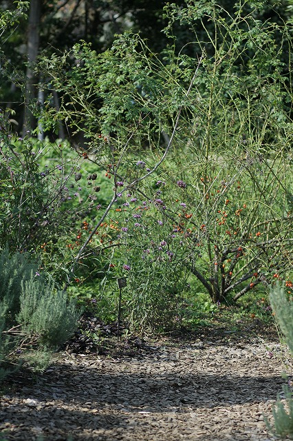 IMG_3175花菜ガーデン