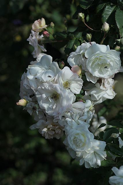 IMG_3184花菜ガーデン