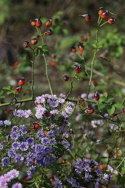 IMG_3191花菜ガーデン