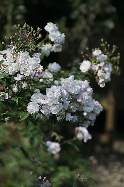 IMG_3214花菜ガーデン